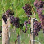Zielone krzewy z fioletowymi winogronami